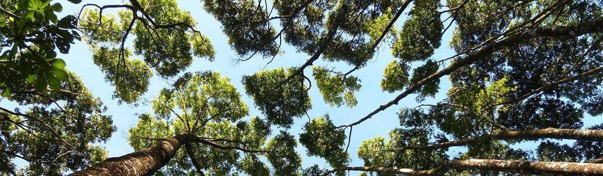 La timidezza degli alberi.